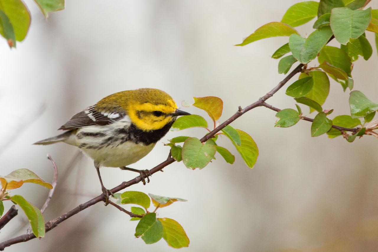 Backyard Birds - Animals and Their Habitats: a Romp through Black throated green warbler photos