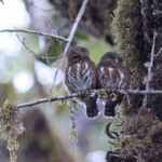 CR Pygmy-Owls