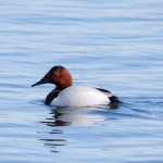 Canvasback (Duck)
