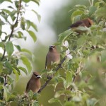 Cedar Waxwings eating apple blossoms