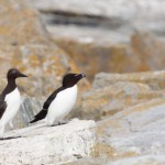 Common Murre and Razorbill
