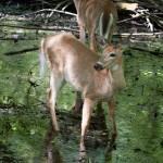 Deer in Pt Pelee