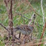 Fiels Sparrow