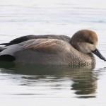 Gadwall (Duck)