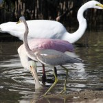 Tricolored Heron, Roseate Spoonbill and Great Egret