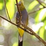 Long-tailed Silky-Flycatcher