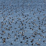 Multitude of Scaups with a few Redheads