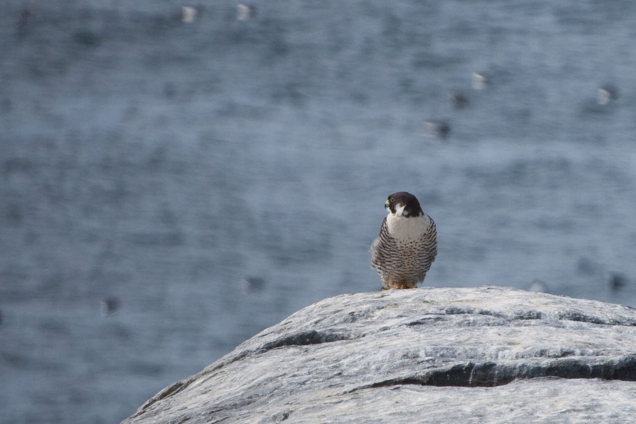 Peregrine Falcon looking for a Puffin