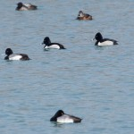 Ring-necked Ducks with Scaups