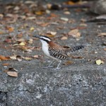 Rupous-naped Wren