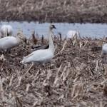 Tundre Swan