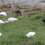 White and Glossy Ibis