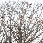 21 Scarlet Macaws in a tree