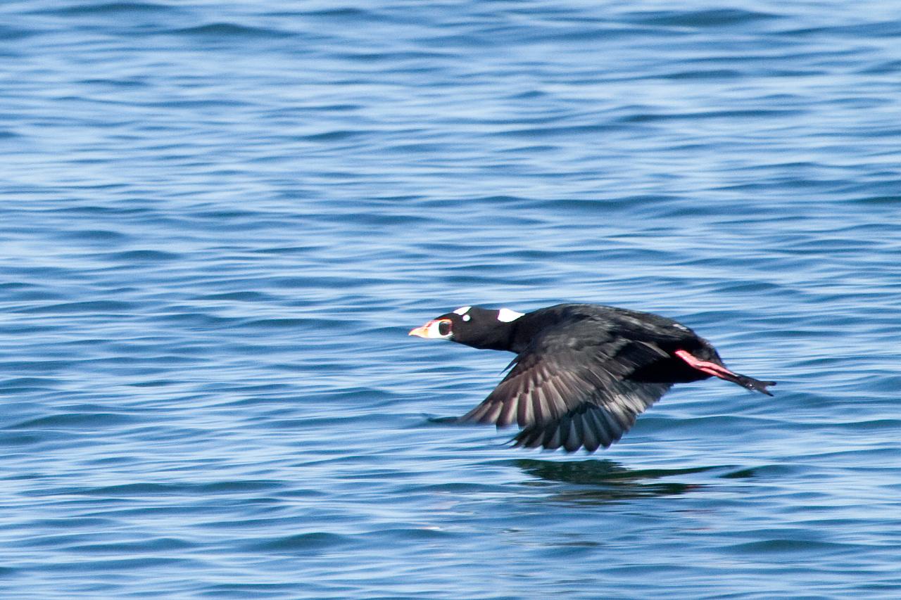 Surf scoter flying