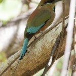 Turquoise-browned Motmot