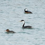 Western Grebe and friends