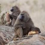 Baboon snack