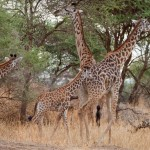 Giraffes in Tarangire Park