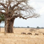 Wildebeest near boabob tree