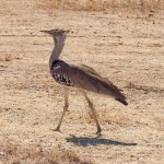 Kori Bustard, Africa's heaviest flying bird