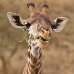 Pretty face giraffe