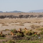 Standoff between lions and water buffalo